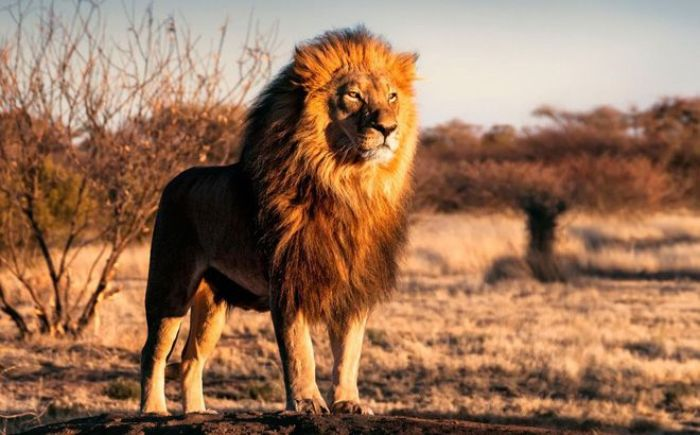 Nằm mơ thấy sư tử là điềm gì?