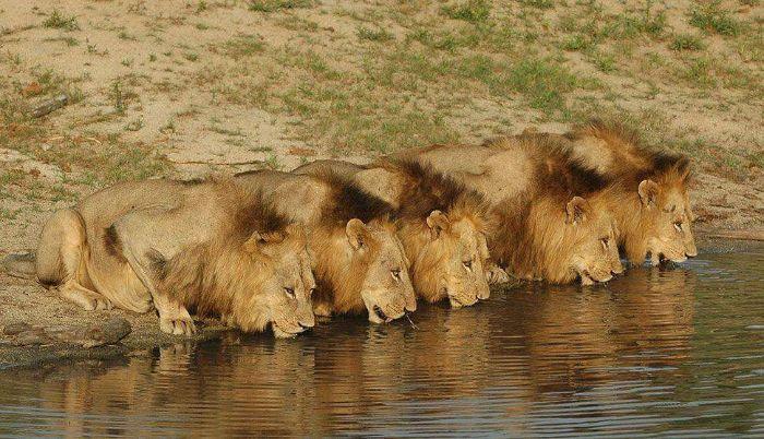 Nếu bạn mơ thấy một đàn sư tử đang đuổi theo bạn thì ghi ngay các số 99 - 48 - 26