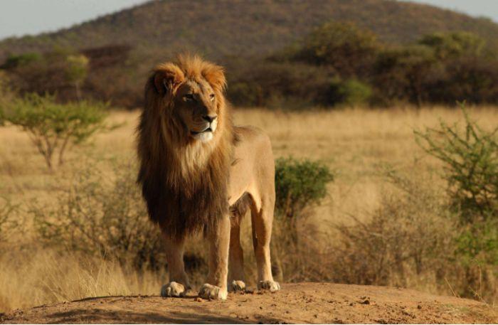 Nằm mơ thấy mình giết sư tử