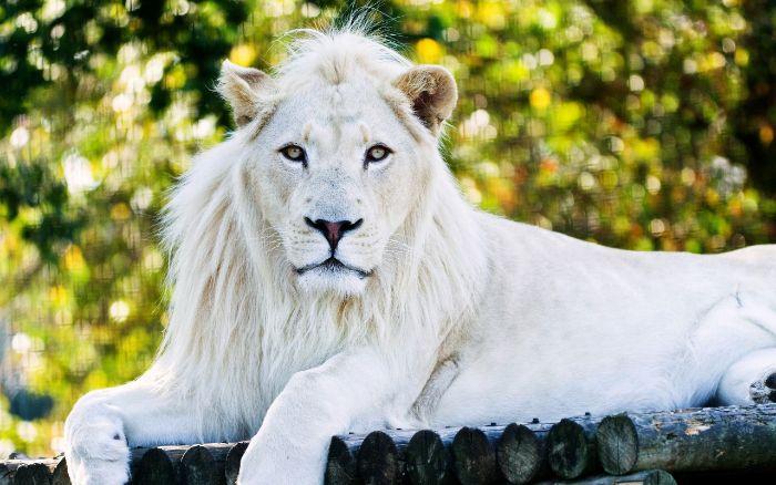 Sư tử trắng là một trong những biểu tượng giấc mơ mạnh nhất vì nó là một biểu tượng cho sức mạnh