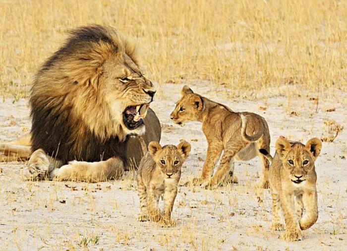 Mơ thấy sư tử con có thể đánh số 98 - 65